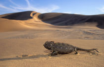 A Namaqua Chameleon walking across a desert plain. by Danita Delimont