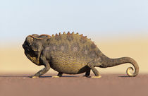 A Namaqua Chameleon walking across a sandy plain. by Danita Delimont
