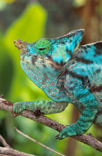 A Parson's Chameleon moving along a branch. by Danita Delimont