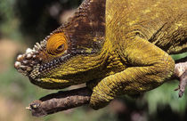 A Parson's Chameleon perched on a branch. von Danita Delimont