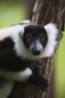 Black and white ruffed lemur in the forest, Perinet Reserve,... von Danita Delimont