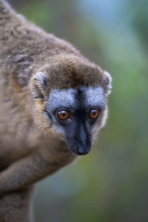 Brown lemur in the forest, Perinet Reserve, Toamasina, Madagascar von Danita Delimont