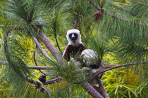 Coquerel's Sifaka in the forest, Perinet Reserve, Toamasina,... by Danita Delimont