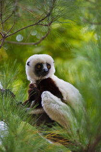 Coquerel's Sifaka in the forest, Perinet Reserve, Toamasina,... von Danita Delimont