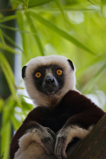 Coquerel's Sifaka in the bamboo forest, Perinet Reserve, Toa... von Danita Delimont