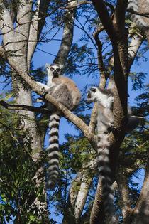 Ring tailed lemur, Berenty National park, Toliara, Madagascar von Danita Delimont