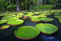 Giant Amazon Water Lilies, Sir Seewoosagur Ramgoolam Botanic... by Danita Delimont
