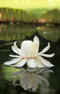 Amazon Water Lily flower, Sir Seewoosagur Ramgoolam Botanica... by Danita Delimont