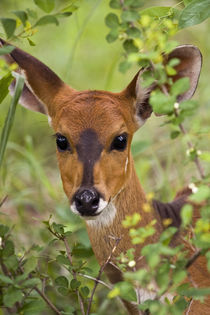 Young bushbuck ewe, Kruger National Park, Transfronteir Park... von Danita Delimont