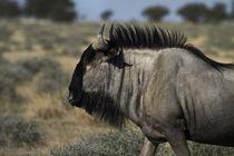 Blue wildebeest, Etosha National Park, Namibia, Africa. by Danita Delimont