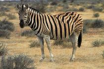 Burchell's zebra, Etosha National Park, Namibia, Africa. by Danita Delimont