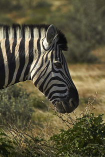 Burchell's zebra, Etosha National Park, Namibia, Africa. von Danita Delimont