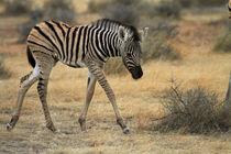 Burchell's zebra foal, Etosha National Park, Namibia, Africa. von Danita Delimont