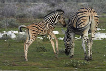 Burchell's zebra foal and mother, Etosha National Park, Nami... by Danita Delimont
