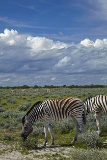 Burchell's zebras, Etosha National Park, Namibia, Africa. by Danita Delimont