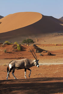 Gemsbok, and sand dunes, Namib-Naukluft National Park, Namib... by Danita Delimont