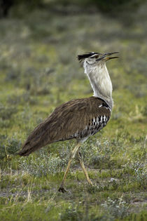 Kori Bustard, Etosha National Park, Namibia, Africa. von Danita Delimont