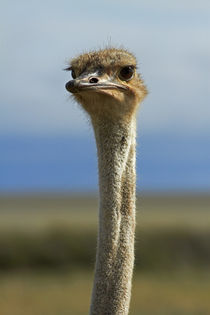 Ostrich, Etosha National Park, Namibia, Africa. by Danita Delimont