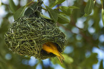 Southern Masked Weaver, at nest, Etosha National Park, Namib... by Danita Delimont