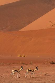Springbok, and sand dunes, near Sossusvlei, Namib-Naukluft N... by Danita Delimont