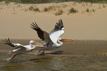 White Pelicans, Sandwich Harbor, Namib-Naukluft National Par... by Danita Delimont