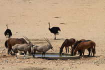 Wild Horses, gemsbok, and ostriches, Garub waterhole, Namib-... by Danita Delimont
