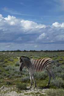 Young Burchell's zebra, Etosha National Park, Namibia, Africa. by Danita Delimont