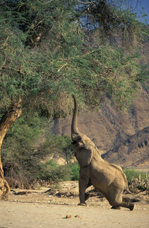 African Bush Elephant feeding on Ana Tree, Amspoort, Namibia by Danita Delimont