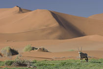 Gemsbok near sand dunes in desert, Sossusvlei, Namib-Naukluf... von Danita Delimont