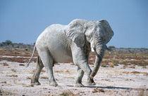 African Bush Elephant, Etosha, Namibia by Danita Delimont