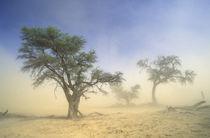 Sandstorm in Kalahari Desert, Kgalagadi Transfrontier Park, ... by Danita Delimont