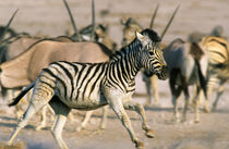 Plains Zebra foal startled, Etosha National Park, Namibia von Danita Delimont