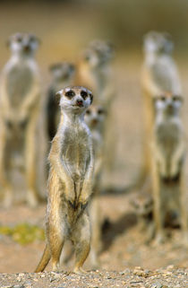 Meerkat sentinels, Karas District, Namibia by Danita Delimont