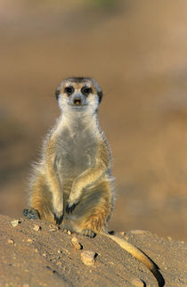 Meerkat sentinel at den, Karas District, Namibia by Danita Delimont