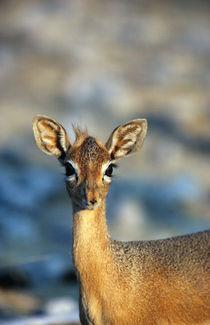 Damara dikdik, Etosha National Park, Namibia by Danita Delimont