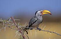 Southern Yellow-billed Hornbill, Etosha National Park, Namibia by Danita Delimont