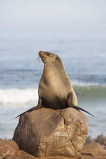 Cape Fur Seal resting on a rock, Cape Cross Seal Reserve, Sk... by Danita Delimont