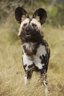 African Wild Dog, photographed in captivity, Harnas Wildlife... by Danita Delimont