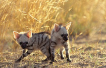 A pair of Aardwolf cubs at play. by Danita Delimont