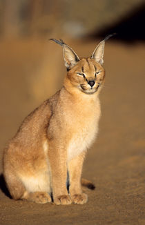 Caracal portrait, Harnas Private Reserve, Namibia, Southern Africa. von Danita Delimont