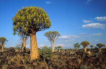 Quiver Trees in bloom on a rocky plain, Keetmanshoop Distric... von Danita Delimont