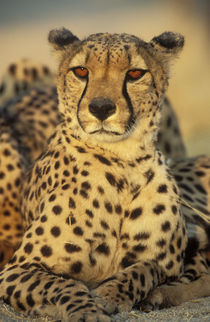 Cheetah, Resting male, photographed in captivity in Namibia von Danita Delimont
