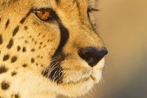 Cheetah von Danita Delimont