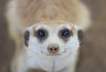 A Meerkat looking up at the camera, Keetmashoop, Namibia von Danita Delimont