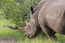 White rhinoceros, Namibia. by Danita Delimont