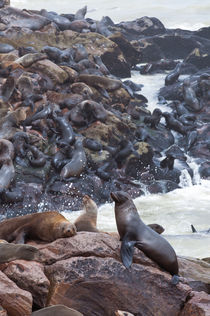 Cape Fur seals, Cape Cross, Skeleton Coast, Kaokoland, Kunen... von Danita Delimont