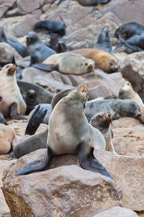 Cape Fur seals, Cape Cross, Skeleton Coast, Kaokoland, Kunen... by Danita Delimont