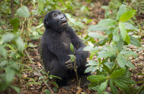 Mountain gorillas, Volcanoes National Park, Rwanda. von Danita Delimont