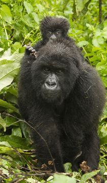 Africa, Rwanda, Volcanoes National Park, Mountain Gorilla, G... by Danita Delimont