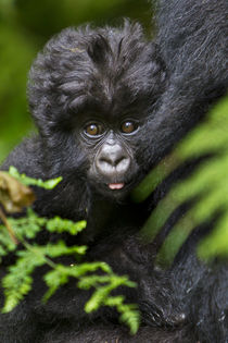 Africa, Rwanda, Female and juvenile Mountain Gorillas of the... by Danita Delimont